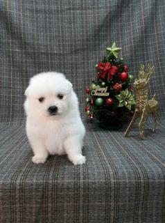Japanese Spitz PUPPY FOR SALE ADN-104676 - Cutest Japanese Spitz puppy LA SF NY CHI SEA SD