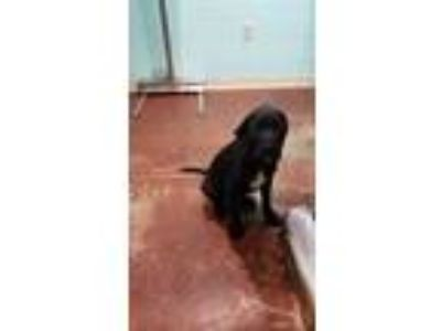 Adopt (found) Cannonball a Black Labrador Retriever / Rottweiler / Mixed dog in
