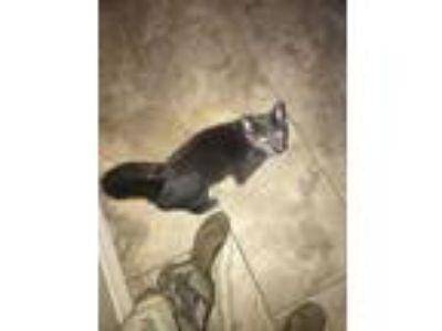 Adopt Princess a Gray or Blue Persian cat in El Paso, TX (25056135)
