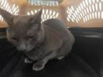 Adopt ARCHIE a Gray or Blue Domestic Shorthair / Mixed (short coat) cat in