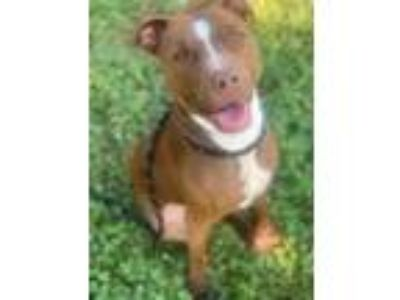 Adopt 730-19 a Brown/Chocolate American Pit Bull Terrier / Mixed dog in Cumming