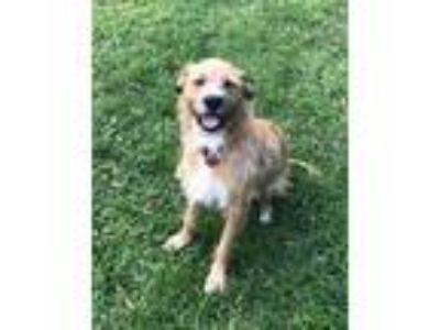 Adopt Sandi a Tan/Yellow/Fawn - with White Terrier (Unknown Type