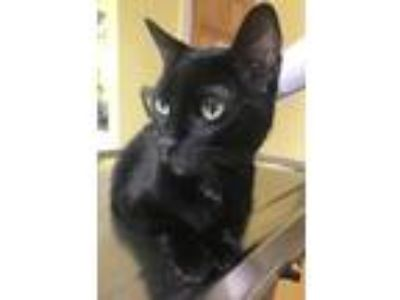 Adopt Noodle a Domestic Short Hair