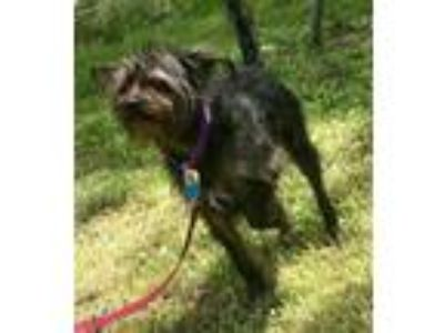 Adopt Carol a Yorkshire Terrier