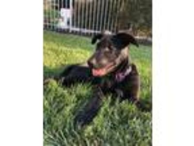 Adopt Nike a Black - with Brown, Red, Golden, Orange or Chestnut Shepherd