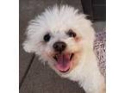 Adopt Dandy a Poodle