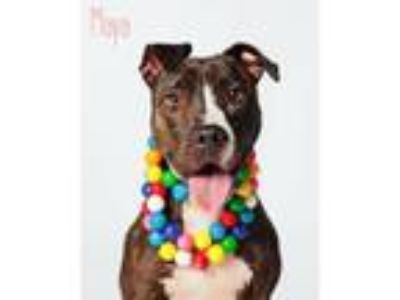 Adopt Maya a Brown/Chocolate - with White Pit Bull Terrier / Labrador Retriever