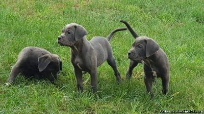 Beautiful Blue Cane Corso Puppies