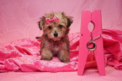 Amazing designer puppies looking for a good loving home , Las Vegas