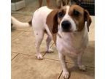 Adopt Jake a Brown/Chocolate - with White Beagle / Mixed dog in Winder