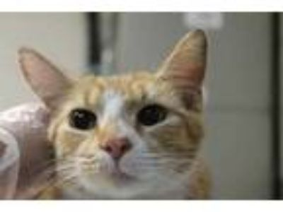 Adopt Nessie a White Domestic Shorthair / Domestic Shorthair / Mixed cat in