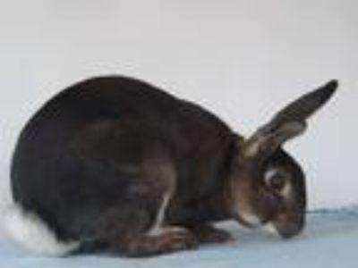 Adopt Tigger a Copper Mini Rex / Mixed rabbit in Hahira, GA (17423441)