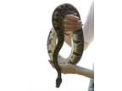 Adopt Slither a Ball Python