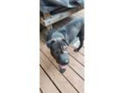 Adopt WOK a Black - with White Shar Pei dog in Conyers, GA (25336310)
