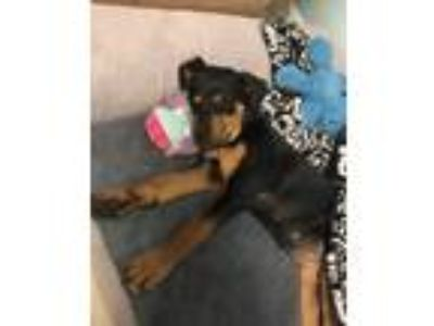 Adopt Bailey a Black - with Tan, Yellow or Fawn Rottweiler / Shepherd (Unknown
