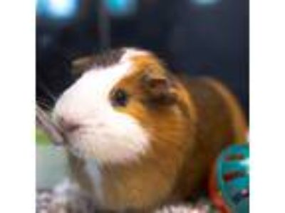Adopt Marvin a Guinea Pig small animal in Golden, CO (25866505)