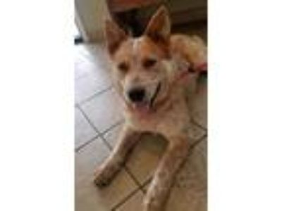 Adopt Bryce a Brown/Chocolate Australian Cattle Dog / Mixed dog in Appleton
