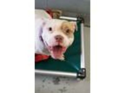 Adopt Henny a Pit Bull Terrier