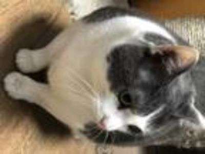Adopt Geeves a Domestic Short Hair