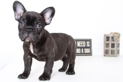 French Bulldog PUPPY FOR SALE ADN-104268 - Vernon Male Black Brindle AKC Frenchie Puppy