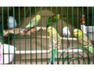 Adopt Skye - Light Blue Color a Parakeet (Other)