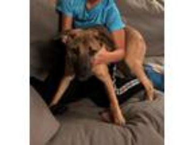 Adopt Nakota a Tricolor (Tan/Brown & Black & White) German Shepherd Dog /