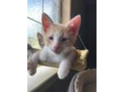 Adopt Reeces a Domestic Short Hair