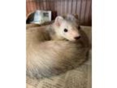 Adopt Cheez-It a White Ferret / Ferret / Mixed (short coat) small animal in