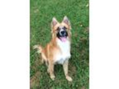 Adopt Jasper a Tan/Yellow/Fawn - with Black Collie / Mixed dog in Plainfield