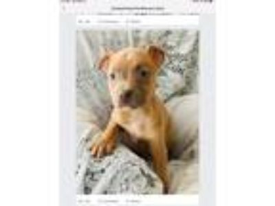 Adopt Puppy3 a Tan/Yellow/Fawn - with White Weimaraner / American Pit Bull