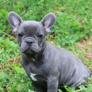French Bulldog PUPPY FOR SALE ADN-103737 - Blue Muza in New York
