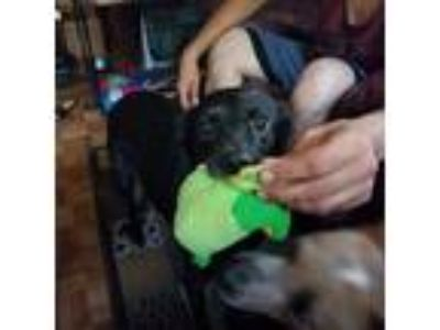 Adopt CHEWBACCA a Black Labrador Retriever / Jack Russell Terrier / Mixed dog in