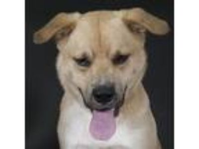 Adopt Prince a Shepherd (Unknown Type) / Chow Chow / Mixed dog in Houston