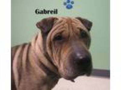 Adopt Gabreil a Brown/Chocolate - with Tan Shar Pei / Mixed dog in Manistee