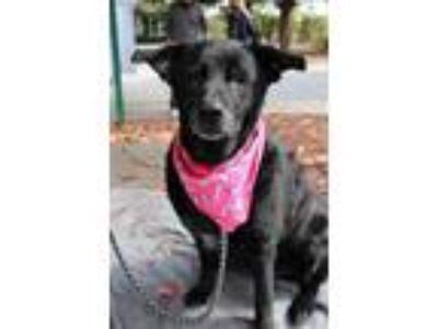 Adopt Cisco a Black Labrador Retriever / Mixed dog in Kittery, ME (21873344)