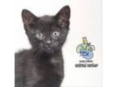 Adopt Martie a All Black Domestic Shorthair cat in Knoxville, TN (25348539)
