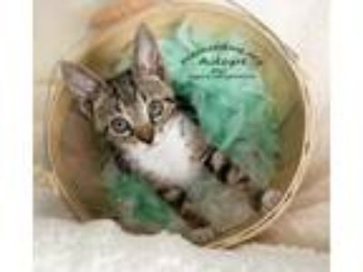 Adopt Cody the Kitten a Gray, Blue or Silver Tabby Domestic Shorthair / Mixed
