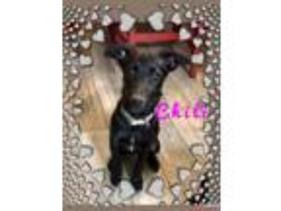 Adopt Chili a German Shepherd Dog, Labrador Retriever