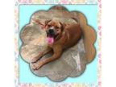 Adopt Goldie a Chow Chow, Boxer
