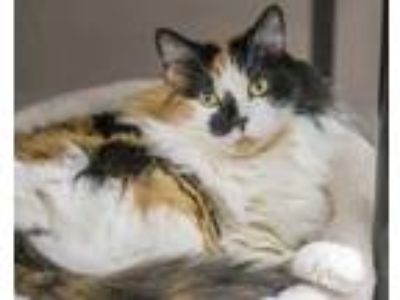 Adopt Delilah a White Domestic Longhair / Domestic Shorthair / Mixed cat in