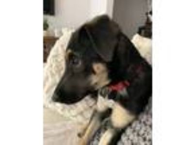 Adopt Nettie a German Shepherd Dog, Labrador Retriever