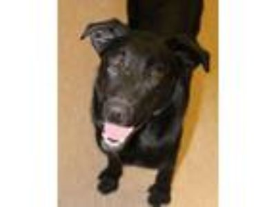 Adopt Ike a Labrador Retriever, Collie