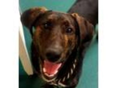Adopt BRODY a Brindle Mountain Cur / Labrador Retriever / Mixed dog in Findlay