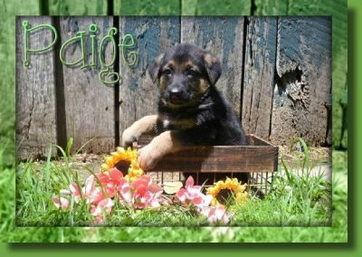 Paige Female German Shepherd