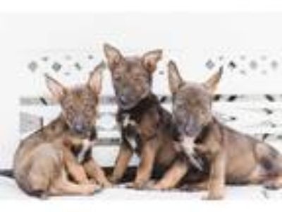 Adopt Blue Litter a Brown/Chocolate - with Black Blue Heeler / Shepherd (Unknown