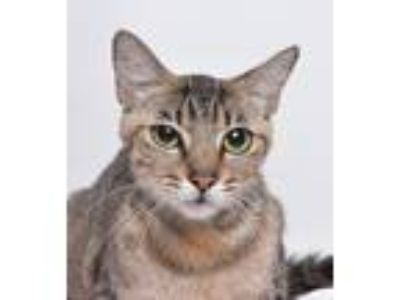 Adopt Faye a Brown Tabby Domestic Shorthair cat in Jefferson City, MO (25334521)