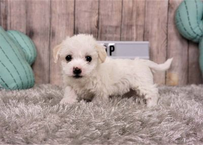 Raj the Pomapoo ($700)