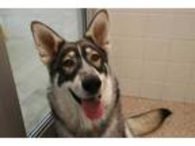 Adopt a Tricolor (Tan/Brown & Black & White) German Shepherd Dog / Mixed dog in