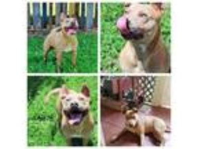 Adopt Rogan a Boxer, Cattle Dog