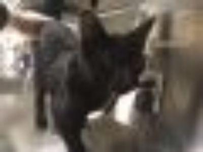 Kona 1261-18 Domestic Short Hair Cat